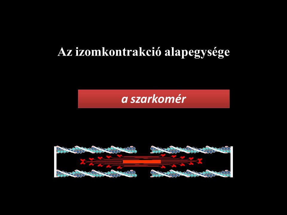 Az izomkontrakció alapegysége a szarkomér