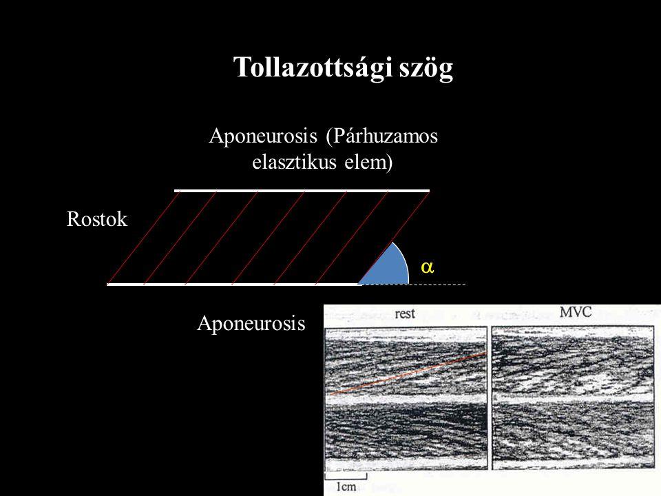 Párhuzamos rostlefutású Tollazott Az izom erőkifejtésének iránya nem esik egybe az izomrostok lefutásának irányával Az izom erőkifejtésének iránya egy