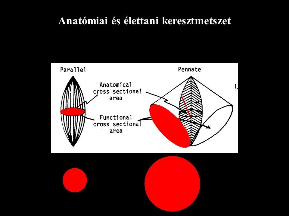 Tollazottsági szög Aponeurosis Rostok Aponeurosis (Párhuzamos elasztikus elem) 