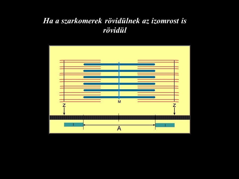 Jellemzők izom rosthossz hosszarány pennáltság PCSA (mm) szög(rad) (cm 2 ) Sartorius4480.880.001.7 Vastus lat.720.23 0.12 (6.7) 30.6 Gastr.