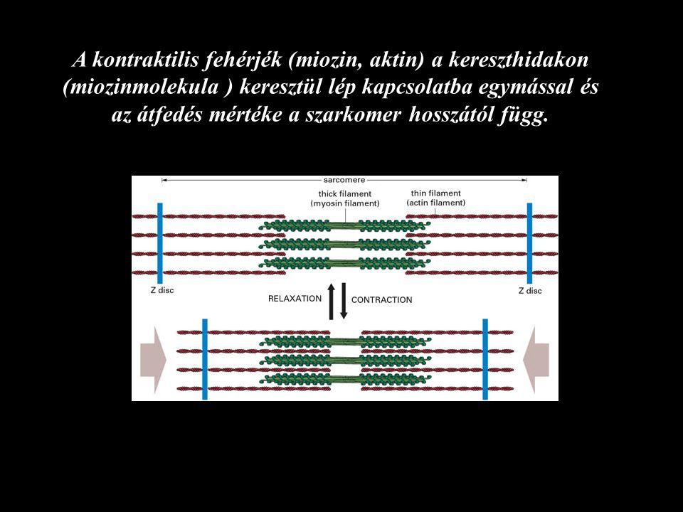 Egységnyi izomerő = 30- 40 N/ cm2 Az izom specifikus feszülése (tenziója) Az izom által kifejtett erő/ élettani keresztmetszet (N/ cm2 )
