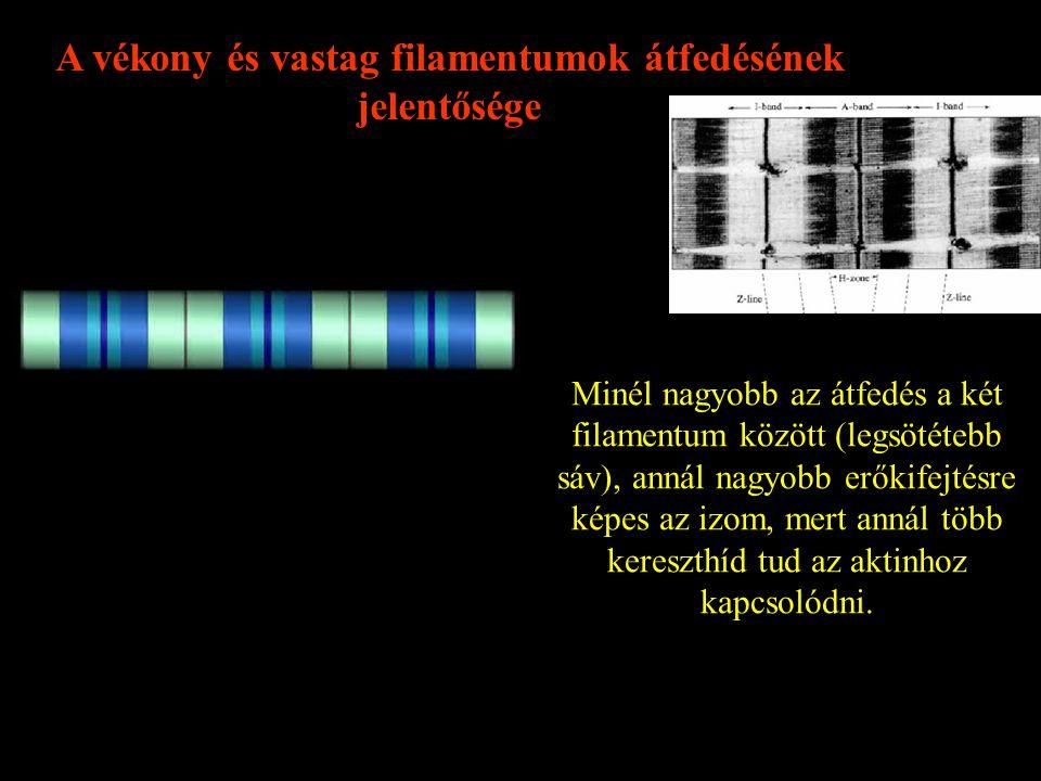 A vékony és vastag filamentumok átfedésének jelentősége Minél nagyobb az átfedés a két filamentum között (legsötétebb sáv), annál nagyobb erőkifejtésre képes az izom, mert annál több kereszthíd tud az aktinhoz kapcsolódni.