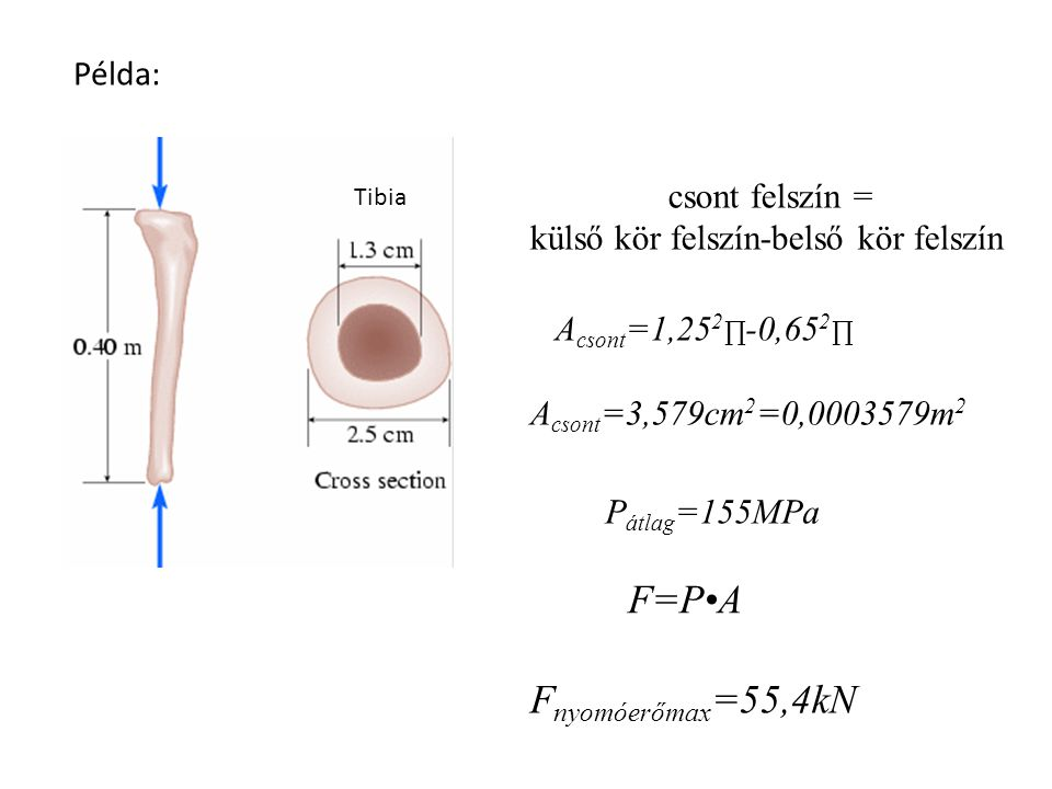 Csont teherbírása Comparison of published human tibia compact bone material properties in axial compression