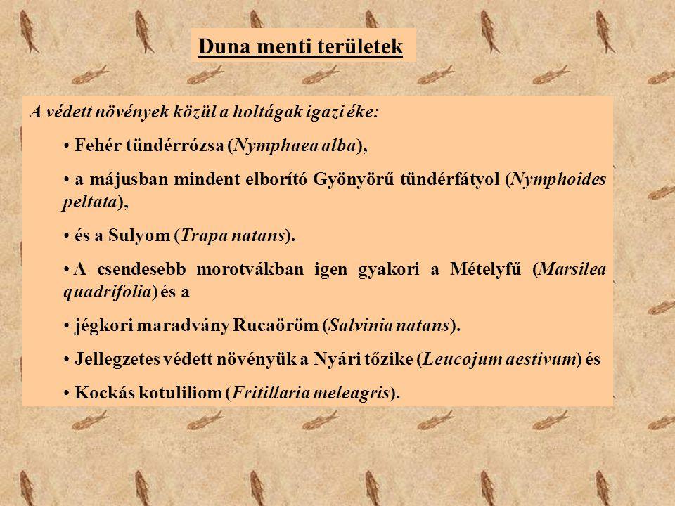 Duna menti területek A védett növények közül a holtágak igazi éke: Fehér tündérrózsa (Nymphaea alba), a májusban mindent elborító Gyönyörű tündérfátyo