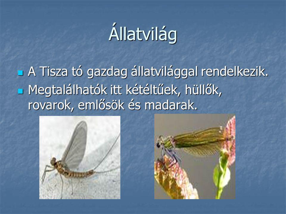 Állatvilág A Tisza tó gazdag állatvilággal rendelkezik. A Tisza tó gazdag állatvilággal rendelkezik. Megtalálhatók itt kétéltűek, hüllők, rovarok, eml