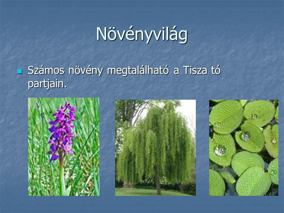 Növényvilág Számos növény megtalálható a Tisza tó partjain. Számos növény megtalálható a Tisza tó partjain.