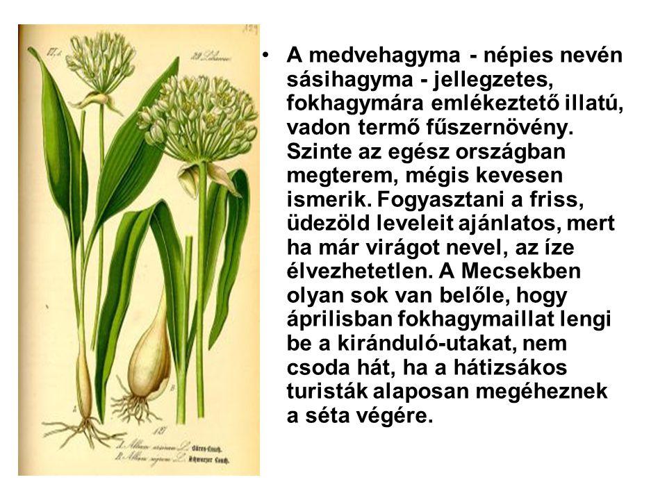 A medvehagyma - népies nevén sásihagyma - jellegzetes, fokhagymára emlékeztető illatú, vadon termő fűszernövény.