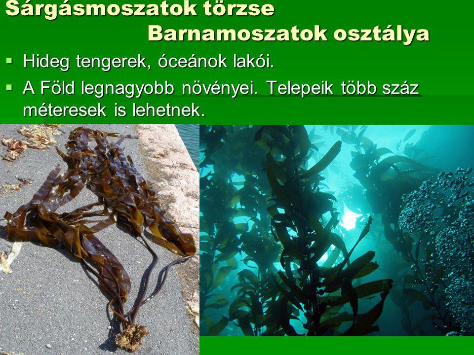 Sárgásmoszatok törzse Barnamoszatok osztálya  Hideg tengerek, óceánok lakói.