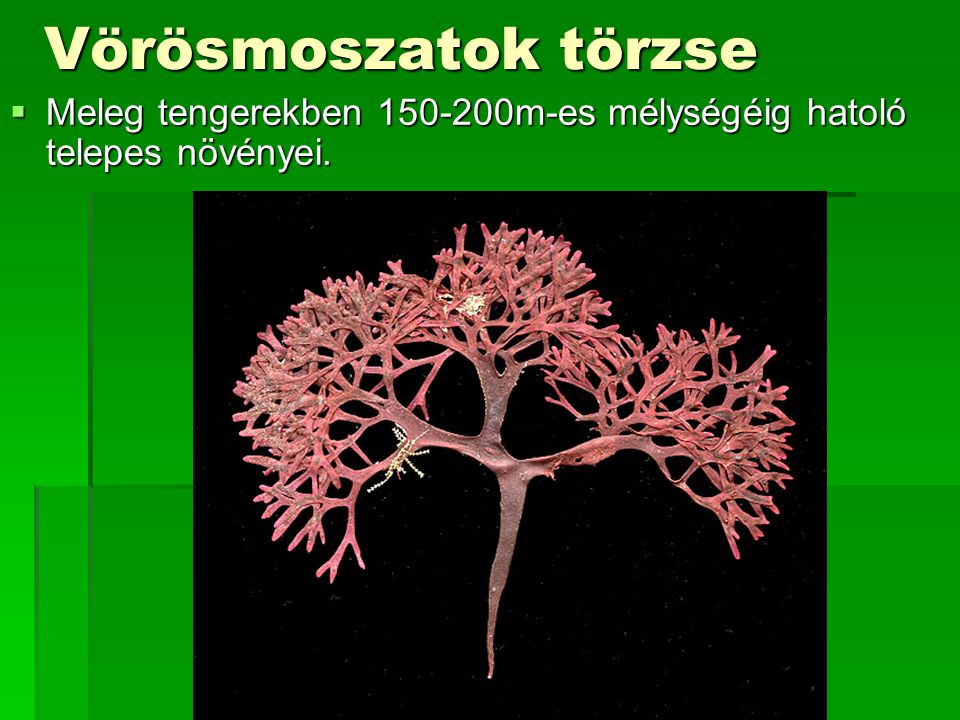 Vörösmoszatok törzse  Meleg tengerekben 150-200m-es mélységéig hatoló telepes növényei.