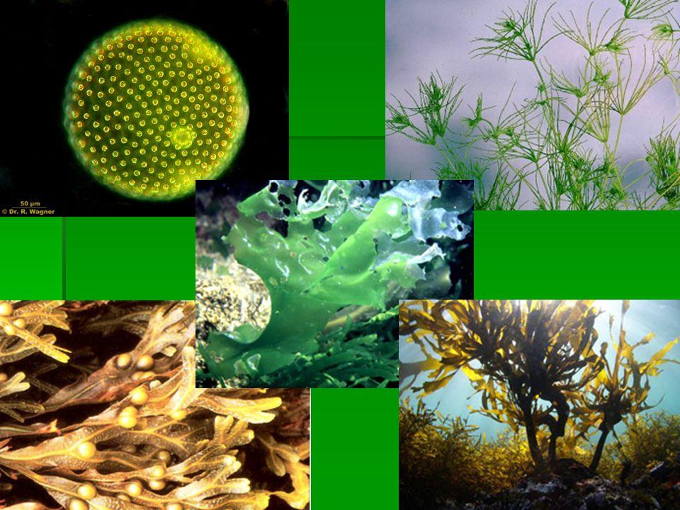 Zöldmoszatok törzse  Színtestük színanyaga ua., mint a szárazföldi zöld növényeké (klorofil)  Őseikből fejlődtek ki az első szárazföldi növények (ősi mohák, harasztok)  Tengerekben édesvizekben, talajon élnek.