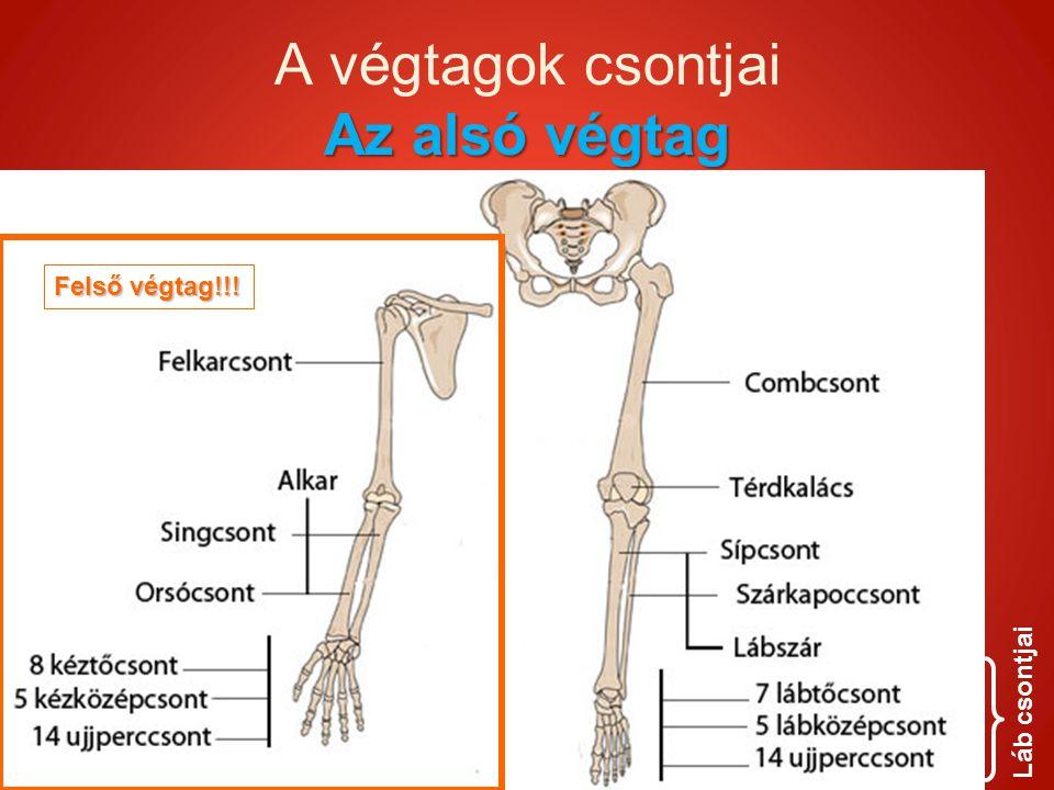 Az alsó végtag A végtagok csontjai Az alsó végtag Láb csontjai Felső végtag!!!