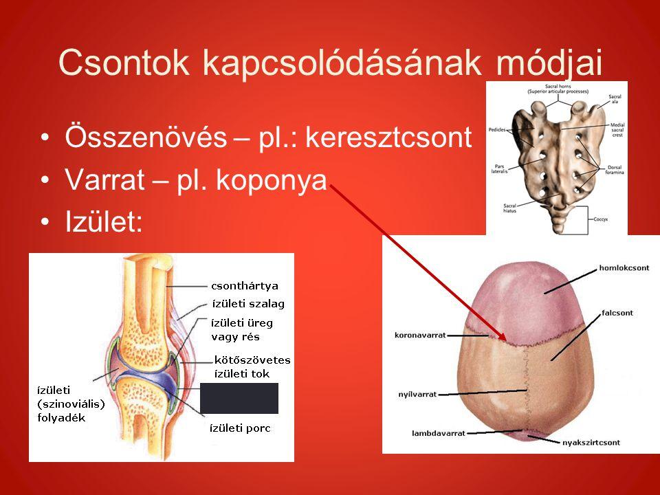 Csontok kapcsolódásának módjai Összenövés – pl.: keresztcsont Varrat – pl. koponya Izület: