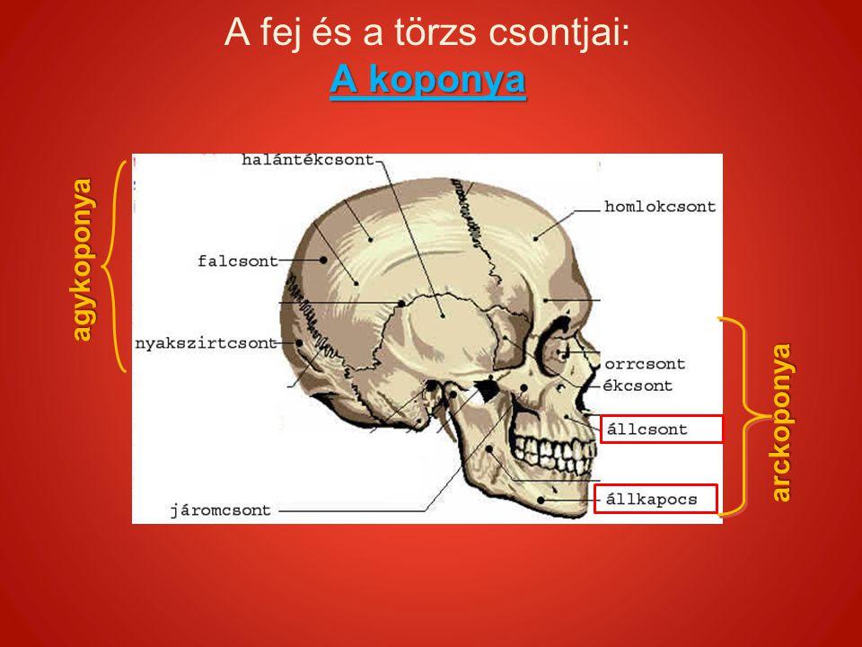 A koponya A fej és a törzs csontjai: A koponyaarckoponya agykoponya