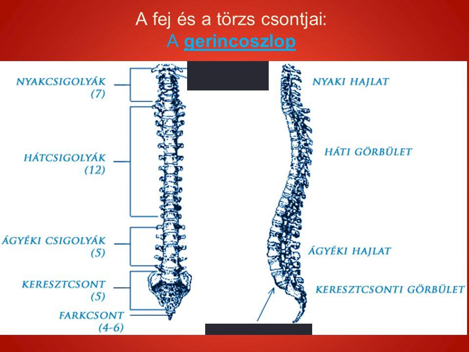 """A gerincoszlop A fej és a törzs csontjai: A gerincoszlop A törzs szilárd központi tengelye Kettős """"S alak - rugalmasság 33-35 db csigolya Felnőtt korra csak 26 db csigolya, mert a keresztcsont és a farkcsont csigolyái összenőnek."""
