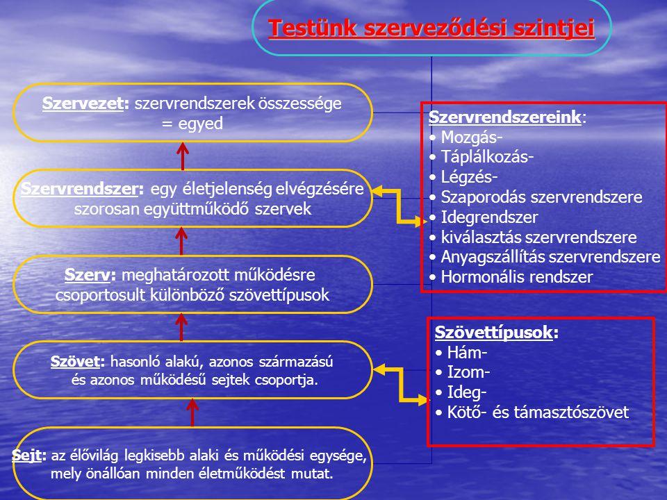 Testünk szerveződési szintjei Szervezet: szervrendszerek összessége = egyed Szervrendszer: egy életjelenség elvégzésére szorosan együttműködő szervek