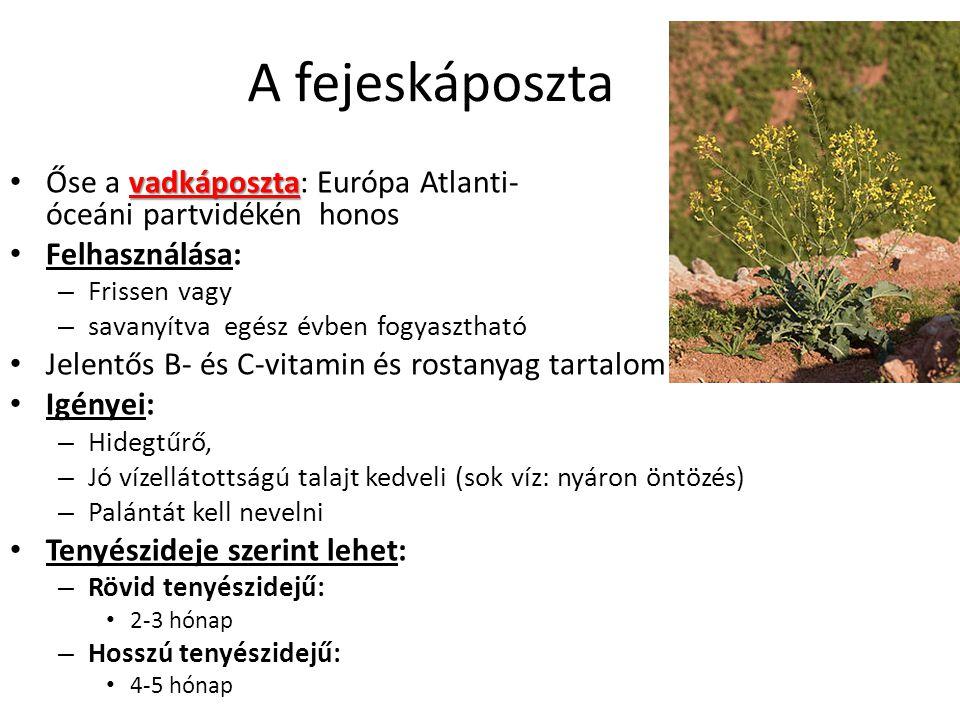 A fejeskáposzta vadkáposzta Őse a vadkáposzta: Európa Atlanti- óceáni partvidékén honos Felhasználása: – Frissen vagy – savanyítva egész évben fogyasz