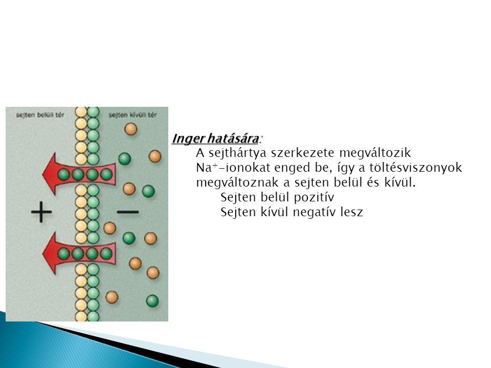 Inger hatására: A sejthártya szerkezete megváltozik Na + -ionokat enged be, így a töltésviszonyok megváltoznak a sejten belül és kívül.
