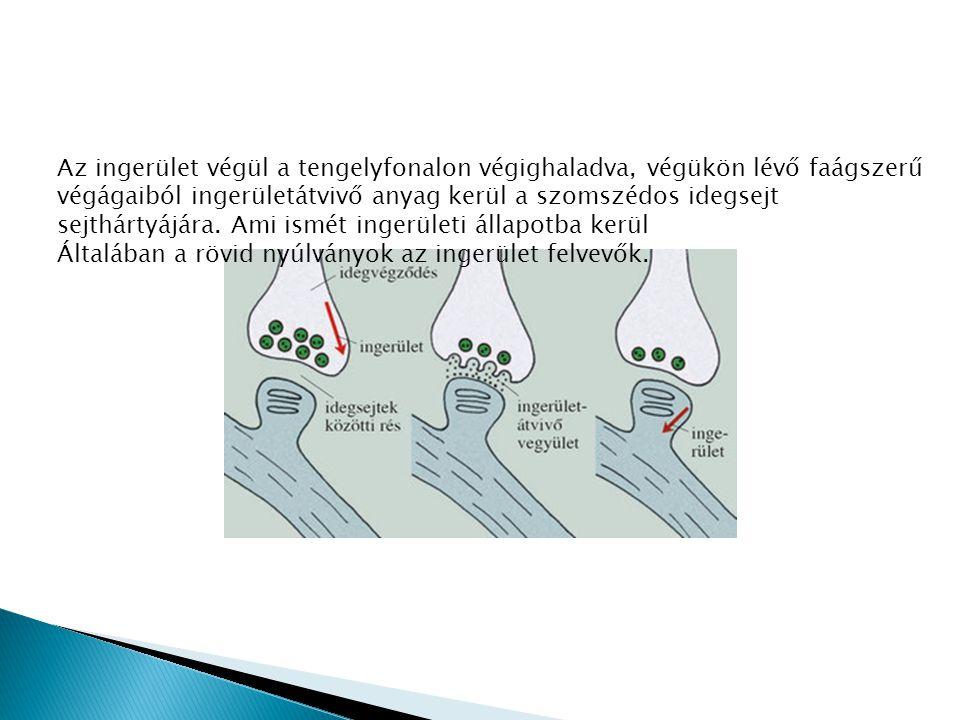 Az ingerület végül a tengelyfonalon végighaladva, végükön lévő faágszerű végágaiból ingerületátvivő anyag kerül a szomszédos idegsejt sejthártyájára.
