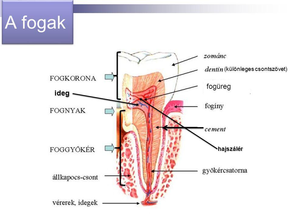 A fogak (különleges csontszövet) hajszálér ideg fogüreg