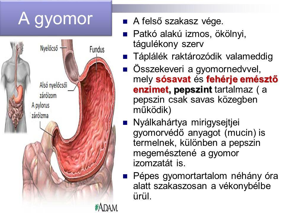 A gyomor A felső szakasz vége. Patkó alakú izmos, ökölnyi, tágulékony szerv Táplálék raktározódik valameddig sósavatfehérje emésztő enzimet, pepszint