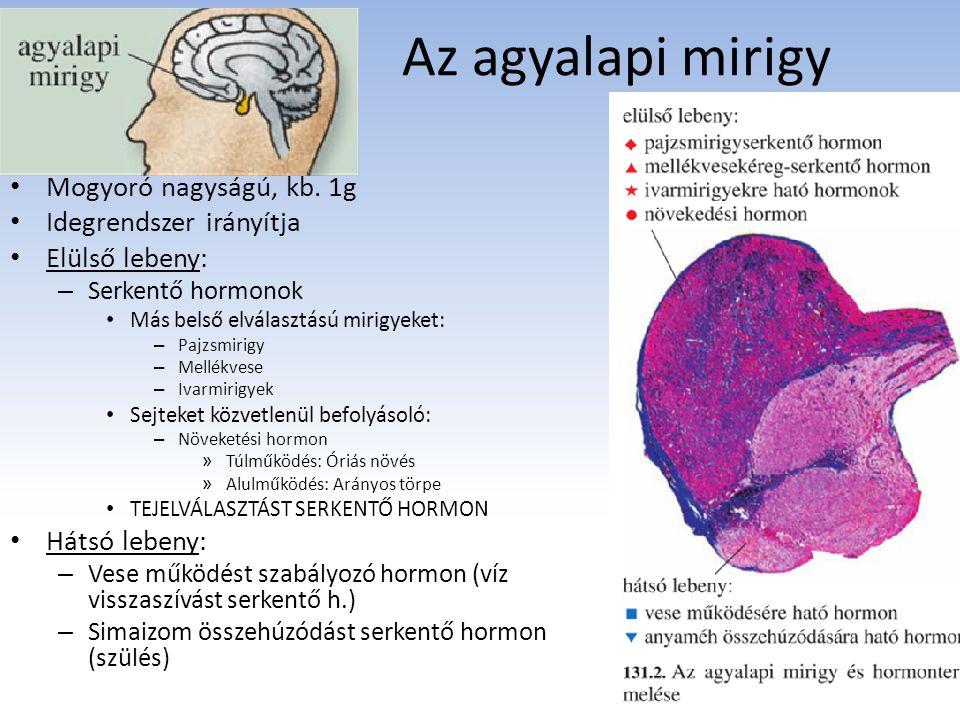 Az agyalapi mirigy Mogyoró nagyságú, kb. 1g Idegrendszer irányítja Elülső lebeny: – Serkentő hormonok Más belső elválasztású mirigyeket: – Pajzsmirigy