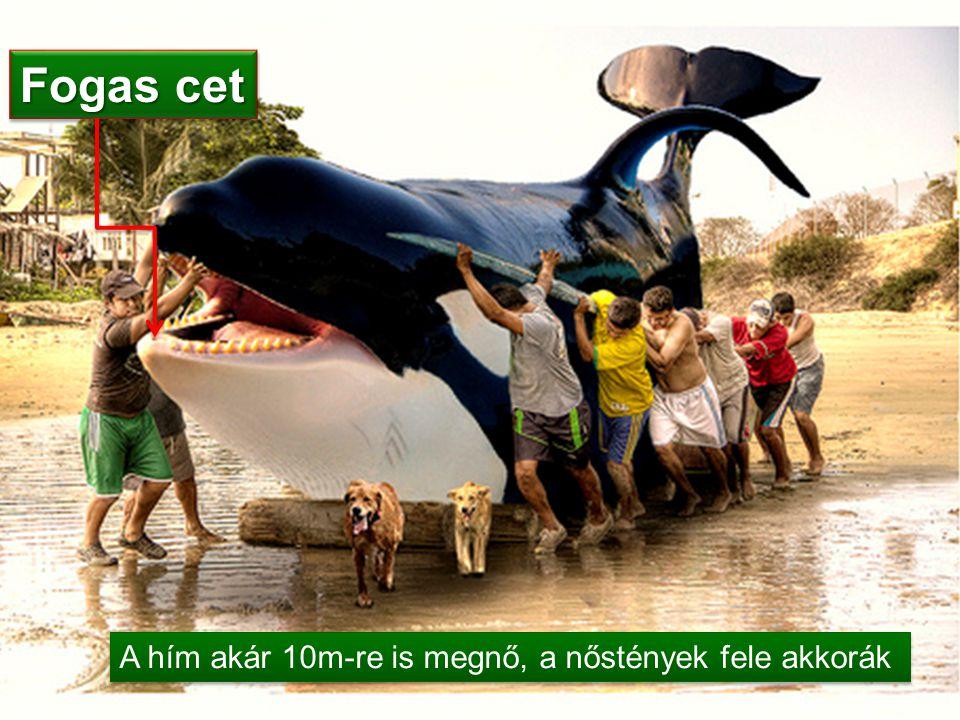A hím akár 10m-re is megnő, a nőstények fele akkorák Fogas cet