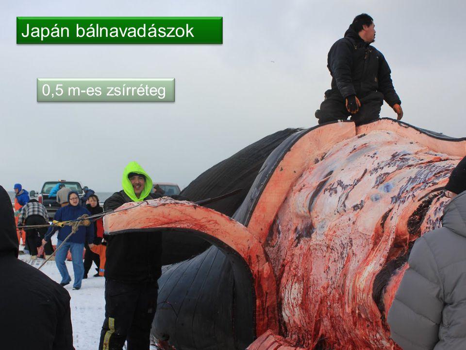 Japán bálnavadászok 0,5 m-es zsírréteg