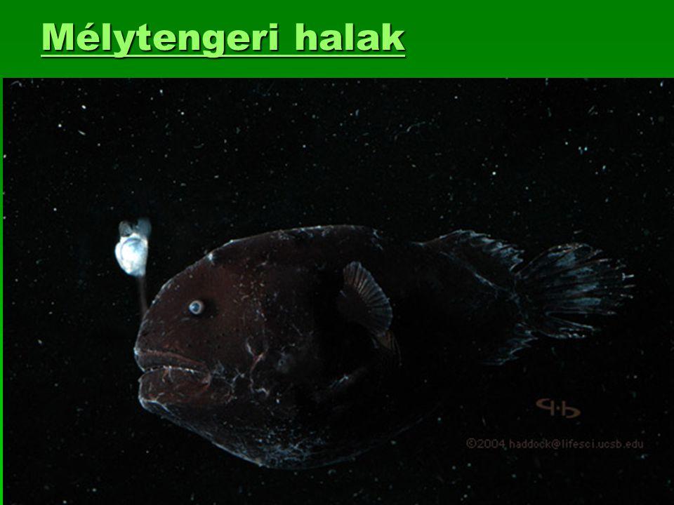 Mélytengeri halak Mélytengeri halak