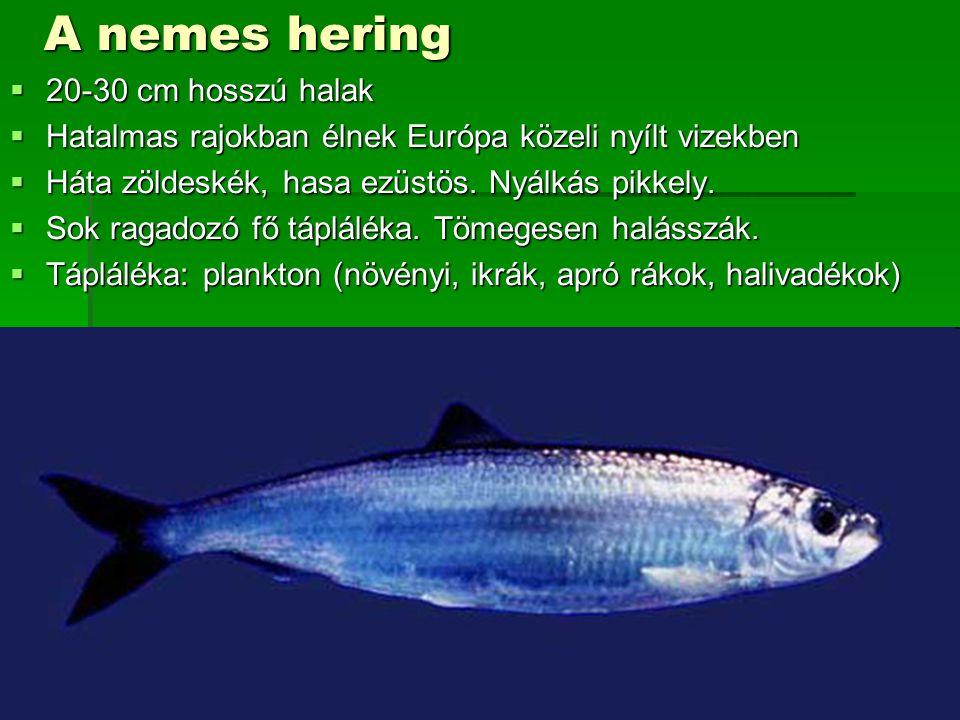 A nemes hering  20-30 cm hosszú halak  Hatalmas rajokban élnek Európa közeli nyílt vizekben  Háta zöldeskék, hasa ezüstös. Nyálkás pikkely.  Sok r