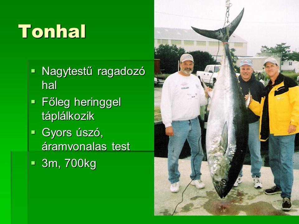 Tonhal  Nagytestű ragadozó hal  Főleg heringgel táplálkozik  Gyors úszó, áramvonalas test  3m, 700kg