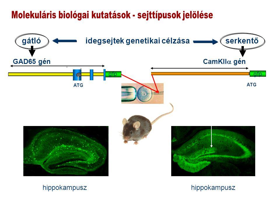 gfp GAD65 gén ATG CamKII  gén ATG hippokampusz gátló idegsejtek genetikai célzása serkentő hippokampusz gfp