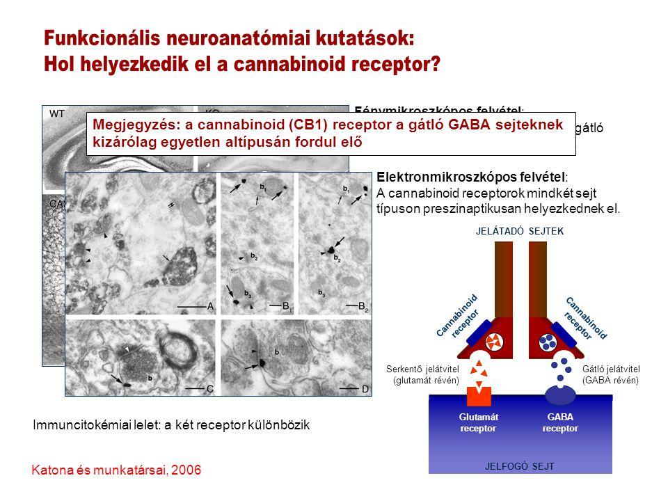 GABA receptor JELFOGÓ SEJT Glutamát receptor JELÁTADÓ SEJTEK Cannabinoid receptor (CB1) Cannabinoid receptor (CB1) Endogén cannabinoidok (retrográd gátlás) Endogén cannabinoidok (retrográd gátlás) 0.4 0.3 0.2 0.1 0.0 FR%[3H] GABA 3 9 15 21 27 33 39 45 51 57 percek kontroll WIN-55,212 WIN-55,212 1μM (CB1 agonista) kontroll WIN-55,212 (CB1 agonista) WIN-55,212 (10μM) 16 12 8 4 0.0 FR%[3H] glutamát 3 9 15 21 27 33 39 45 51 57 percek Kőfalvi és munkatársai, 2005 Hájos és Freund 2002