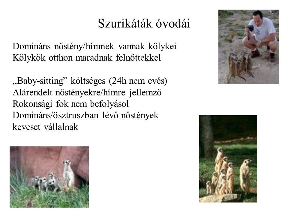 """Szurikáták óvodái Domináns nőstény/hímnek vannak kölykei Kölykök otthon maradnak felnőttekkel """"Baby-sitting költséges (24h nem evés) Alárendelt nőstényekre/hímre jellemző Rokonsági fok nem befolyásol Domináns/ösztruszban lévő nőstények keveset vállalnak"""