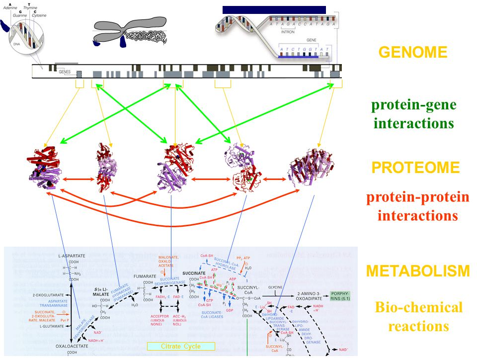 protein-gene interactions protein-protein interactions PROTEOME GENOME Citrate Cycle METABOLISM Bio-chemical reactions