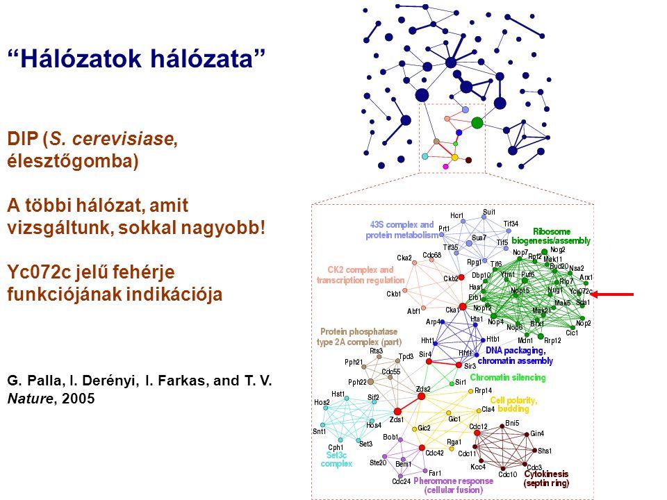 """""""Hálózatok hálózata"""" DIP (S. cerevisiase, élesztőgomba) A többi hálózat, amit vizsgáltunk, sokkal nagyobb! Yc072c jelű fehérje funkciójának indikációj"""