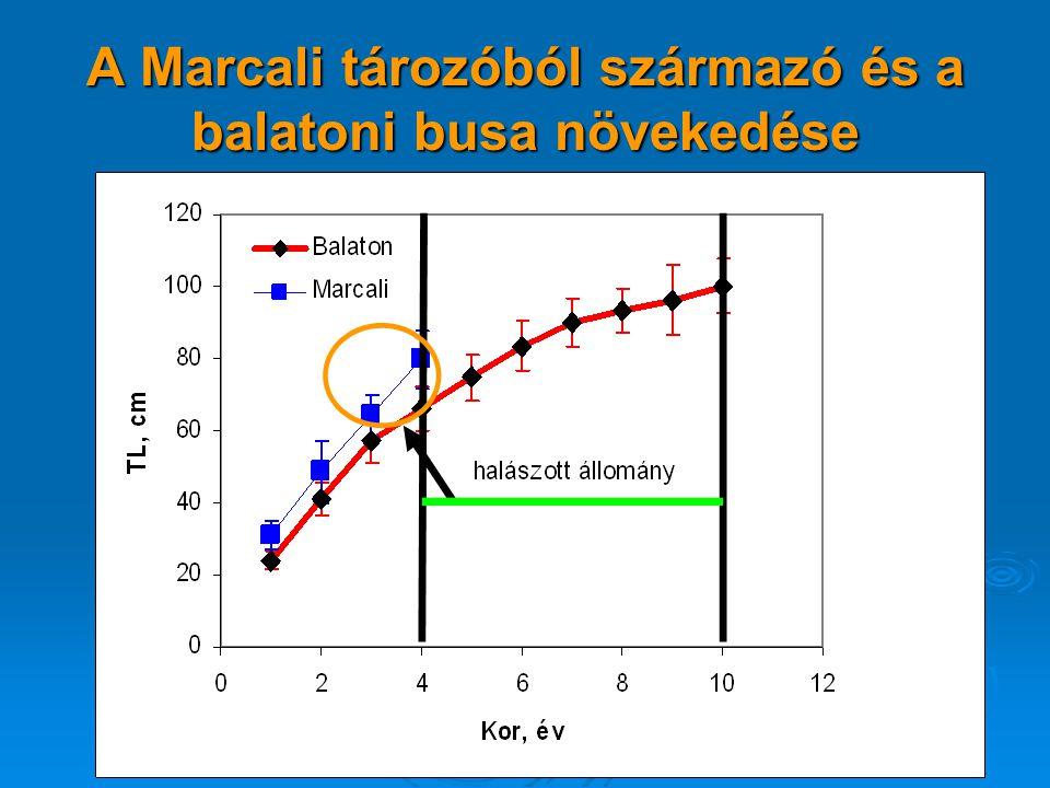 A Marcali tározóból származó és a balatoni busa növekedése