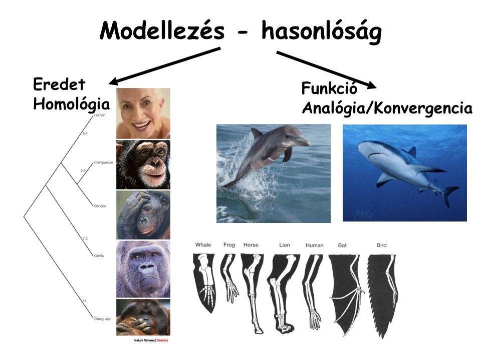 Modellezés - hasonlóság Eredet Homológia Funkció Analógia/Konvergencia
