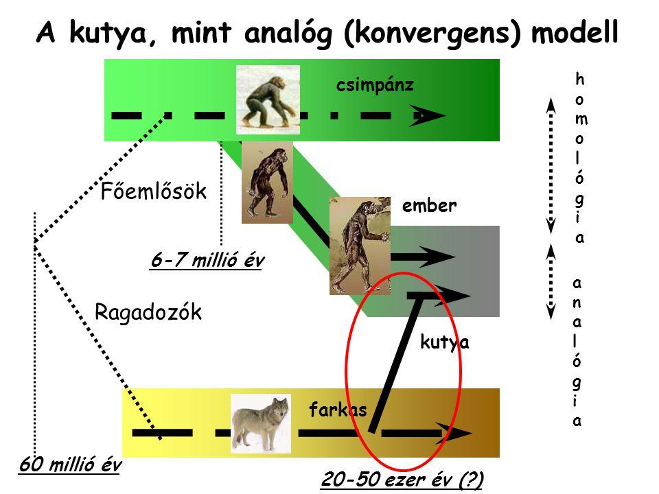 6-7 millió év ember 60 millió év Főemlősök csimpánz farkas Ragadozók homológiahomológia analógiaanalógia A kutya, mint analóg (konvergens) modell kutya 20-50 ezer év (?)