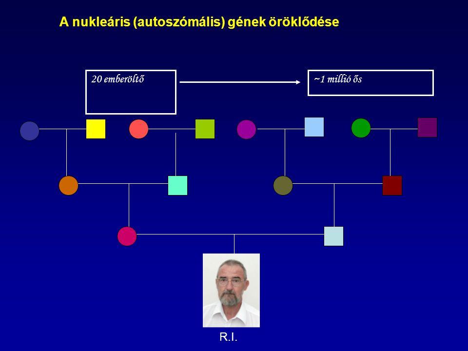 A mitokondriális, Y kromoszómális DNS öröklődése 20 emberöltő: 1 anyai ős: H(eléna) (30e éve Európában) 1 apai ős: Eu7 (25e.