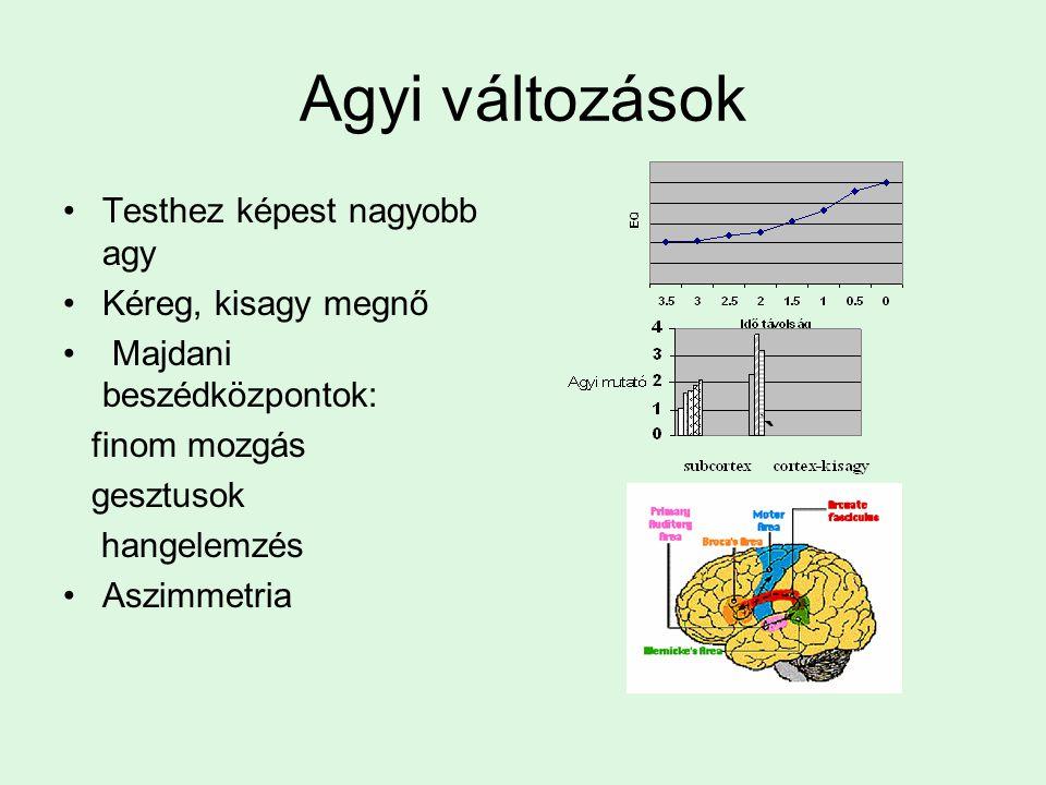 Agyi változások Testhez képest nagyobb agy Kéreg, kisagy megnő Majdani beszédközpontok: finom mozgás gesztusok hangelemzés Aszimmetria