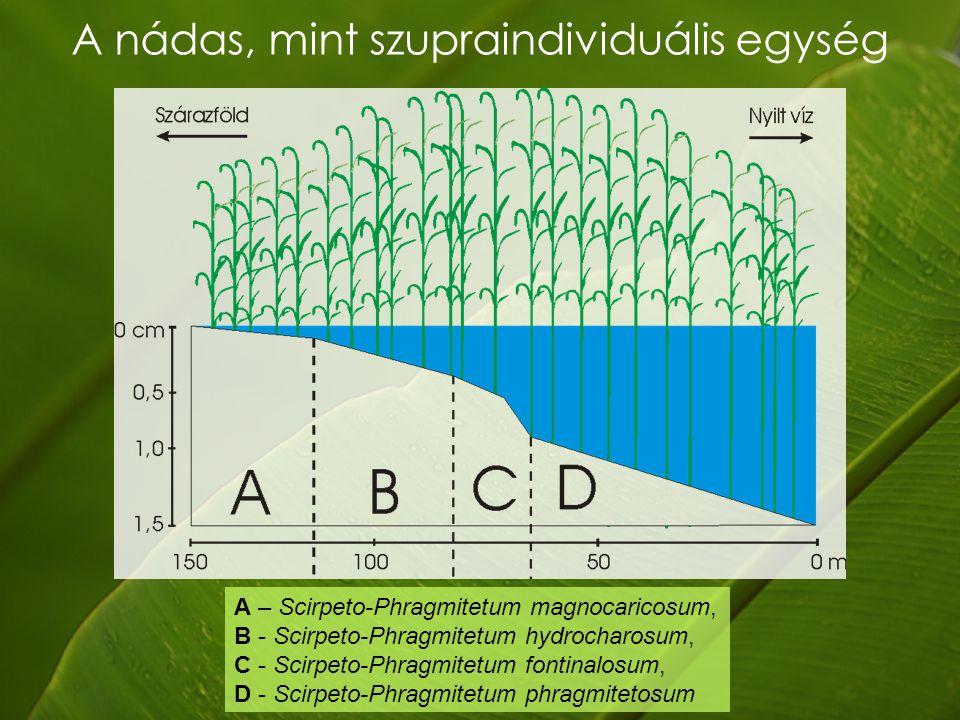 A nádas, mint szupraindividuális egység A – Scirpeto-Phragmitetum magnocaricosum, B - Scirpeto-Phragmitetum hydrocharosum, C - Scirpeto-Phragmitetum fontinalosum, D - Scirpeto-Phragmitetum phragmitetosum