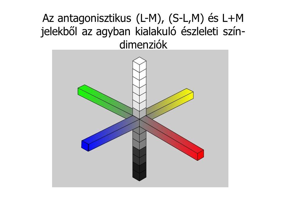 Az antagonisztikus (L-M), (S-L,M) és L+M jelekből az agyban kialakuló észleleti szín- dimenziók