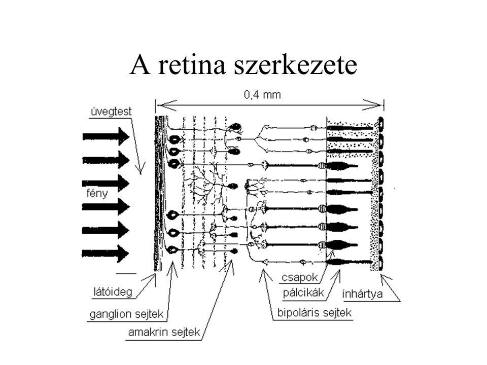 A retina szerkezete