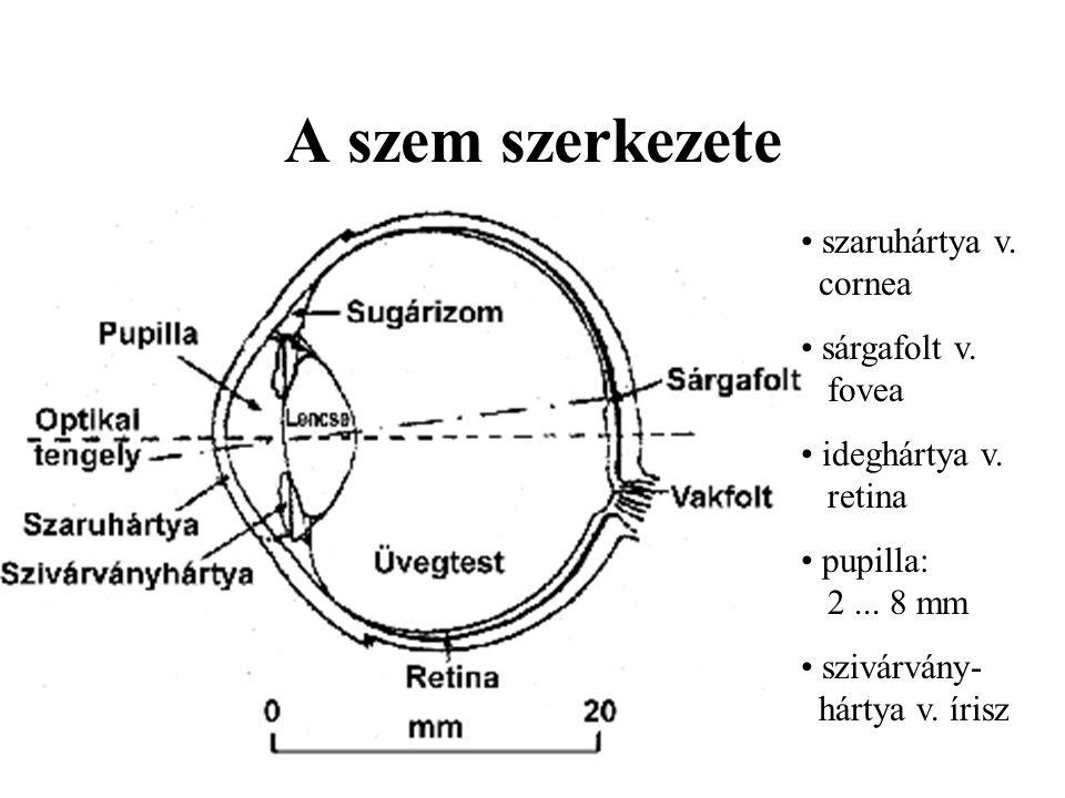 A szem szerkezete szaruhártya v. cornea sárgafolt v. fovea ideghártya v. retina pupilla: 2... 8 mm szivárvány- hártya v. írisz