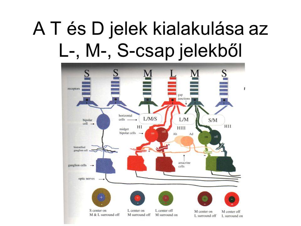 A T és D jelek kialakulása az L-, M-, S-csap jelekből