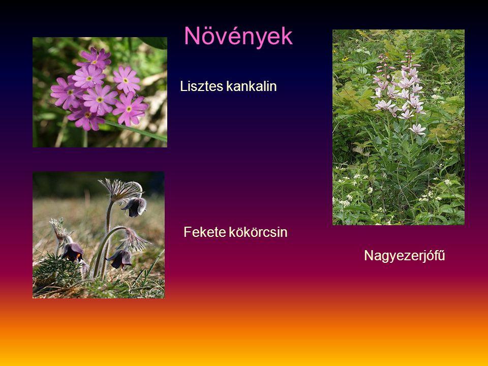 Lisztes kankalin Fekete kökörcsin Nagyezerjófű Növények