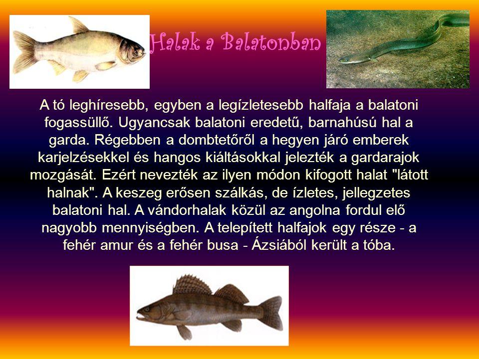 A tó leghíresebb, egyben a legízletesebb halfaja a balatoni fogassüllő. Ugyancsak balatoni eredetű, barnahúsú hal a garda. Régebben a dombtetőről a he