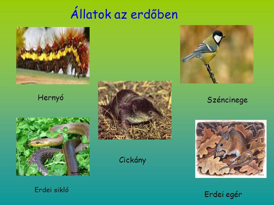 Állatok az erdőben Hernyó Széncinege Cickány Erdei sikló Erdei egér