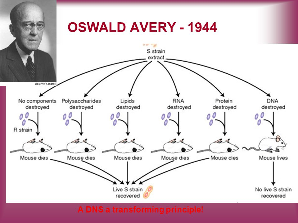 OSWALD AVERY - 1944 A DNS a transforming principle!