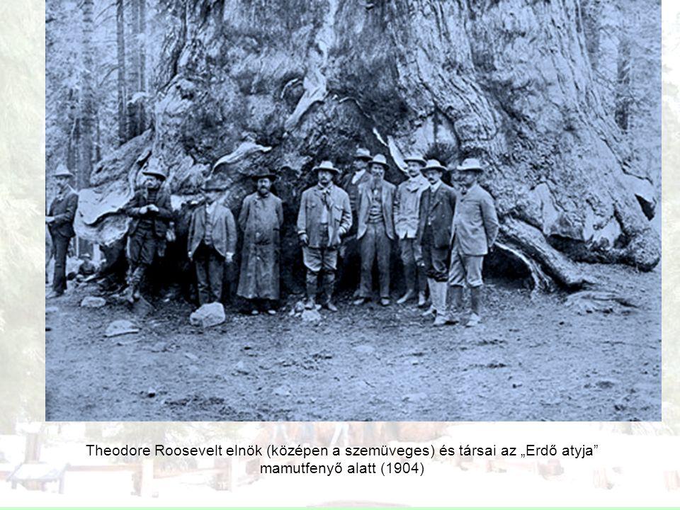 """Theodore Roosevelt elnök (középen a szemüveges) és társai az """"Erdő atyja mamutfenyő alatt (1904)"""